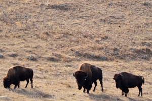 09_Grazing bison_a