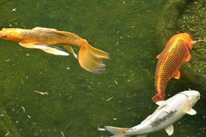 Twisting and turning, agile Gold fish enjoy their spacious environment.