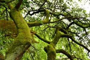 Moss covered branches testify to the local rain forest climate.