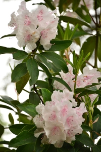 Pale pink Rhododendrons, my favorite soft tint for this year.
