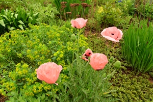 Oriental Poppies beckon me closer.