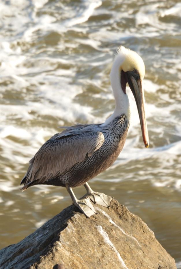 012a_lone pelican