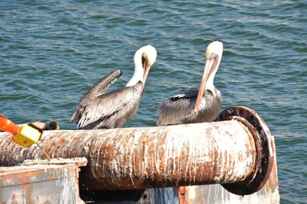 12_Resting Pelicans