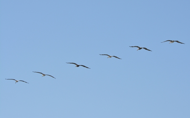 17_Pelicans in flight1