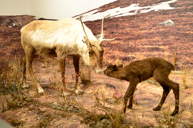 For a more peaceful scene this caribou mother and calf provide a less confrontational and threatening stance.