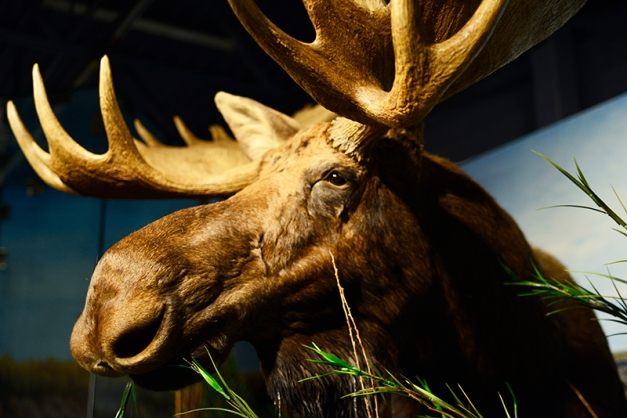 What is this dark silhouette in the background of the marshland display? A moose in all its glory and there is no need to seek cover and remove myself from the situation.