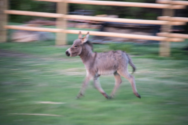 The foal was full of energy and difficult to capture with the camera. This image shows the constant movement within the pen.