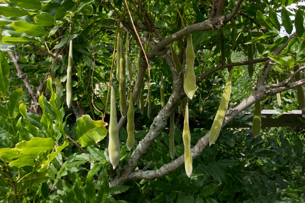 wisteria seed pods