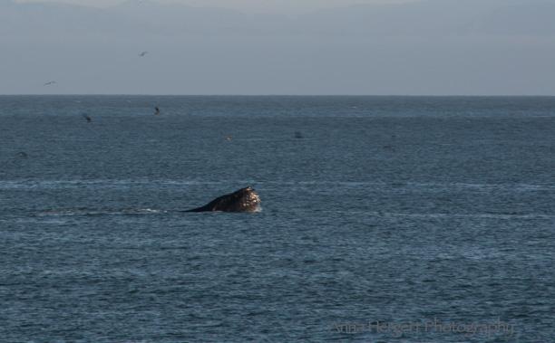 Humpback Whale Image