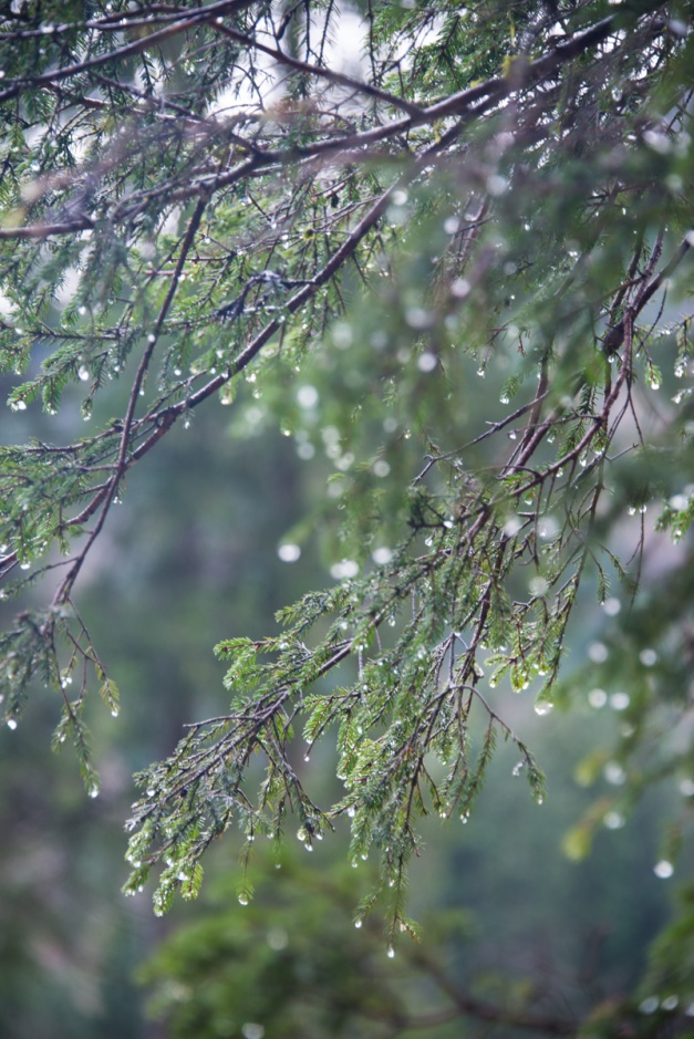 ...all I was able to capture was the rain dripping from the evergreen branches,