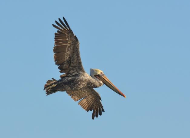 American Pelican in Flight copy