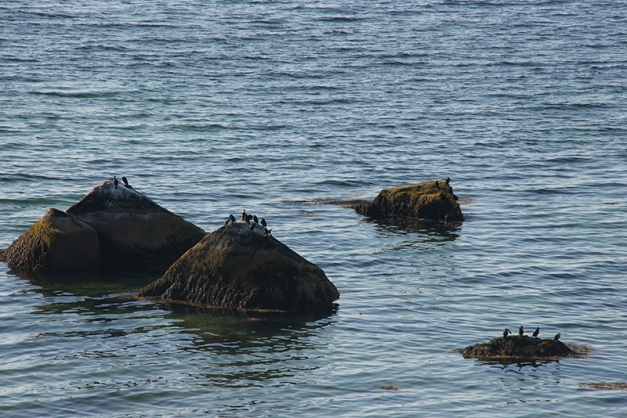 And there I spotted rocks covered with Cormorants...