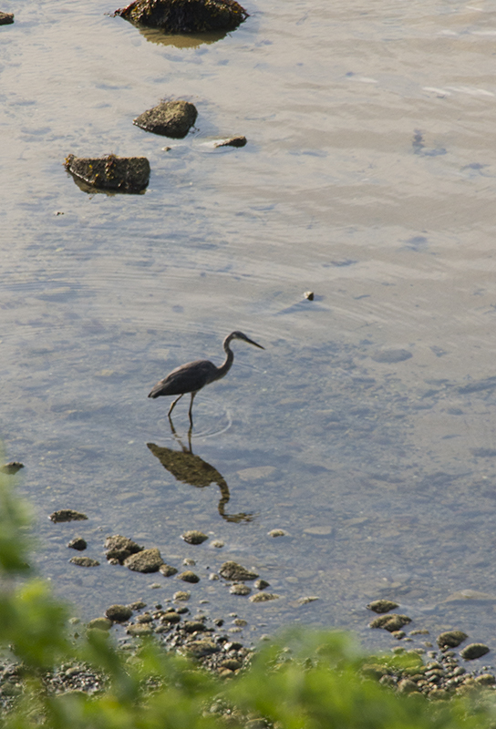 The Blue Heron quickly landed and positioned himself in search of breakfast. At that moment I wished I had a longer lens...