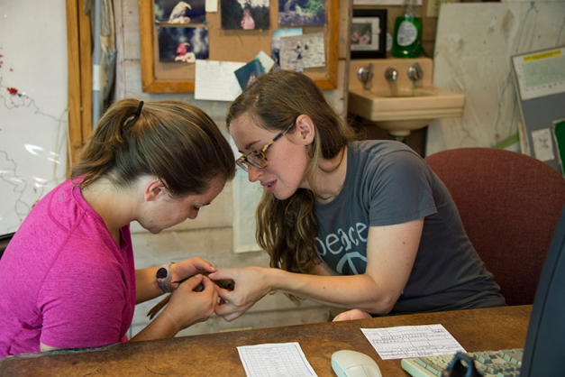 Lauren (r) and Kristin (l) carefully examining a young Catbird to determine its age before the date is added to the database.