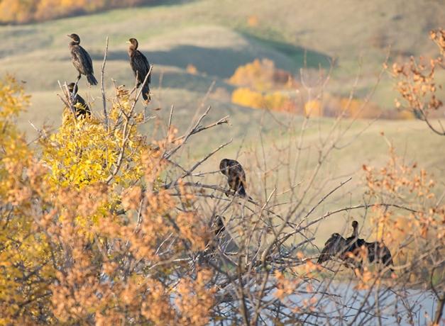 Cormorants scanning Buffalo Pound Lake
