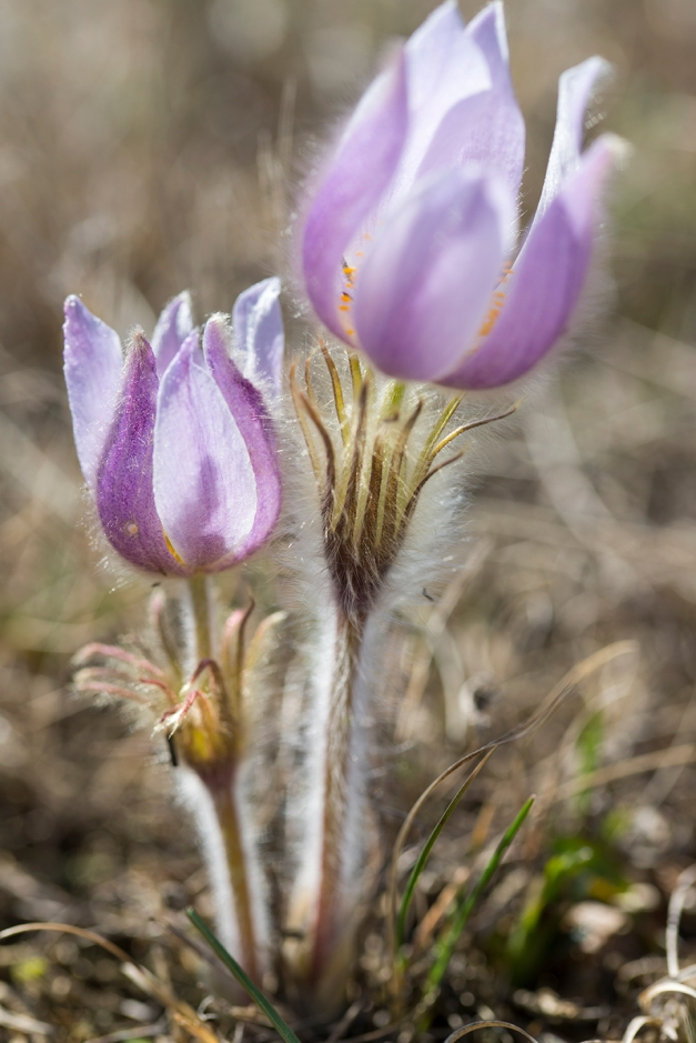 crocus copy
