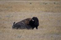 Buffalo 1