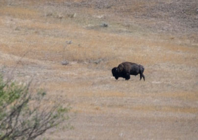Buffalo 1a
