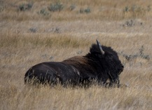 Buffalo 4