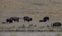 Buffalo Herd Detail