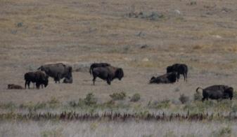 Buffalo Herd Detail