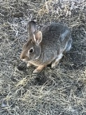 Grasslands Bunny at sunset