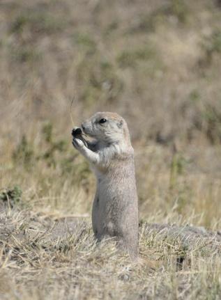 Prairie Dog-01