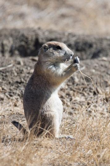 Prairie Dog eating