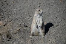 Prairie Dog_3